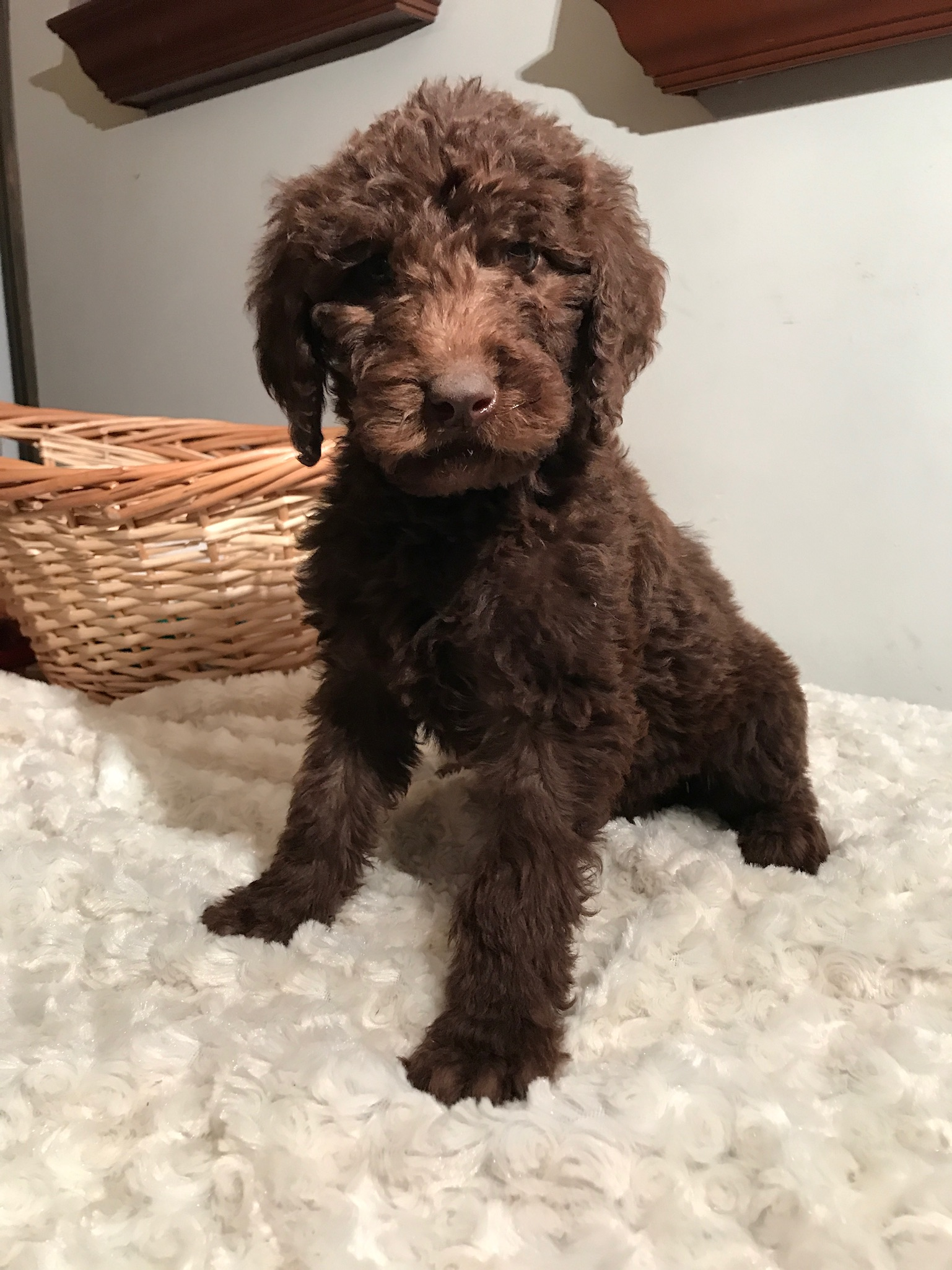 Dreaming Doodles Michigan Doubledoodles Labradoodles And